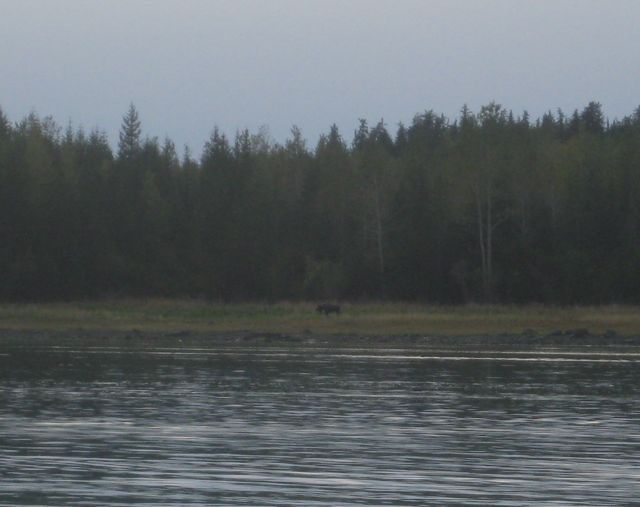 A moose sighting in Lituya Bay