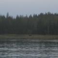 A moose sighting in Lituya Bay